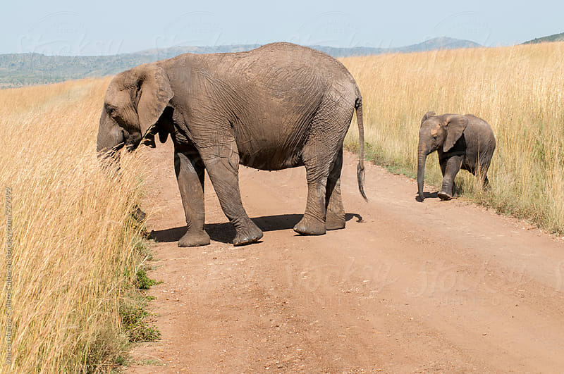 Baby elephant crossing a road following his mother by Marta Muñoz-Calero Calderon for Stocksy United