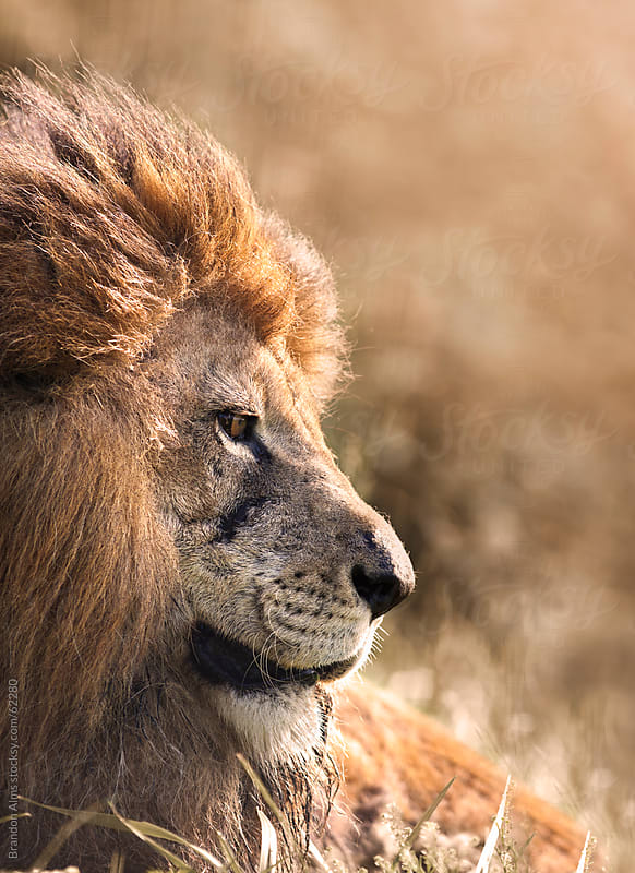 Sunlit Male Lion Closeup by Brandon Alms for Stocksy United