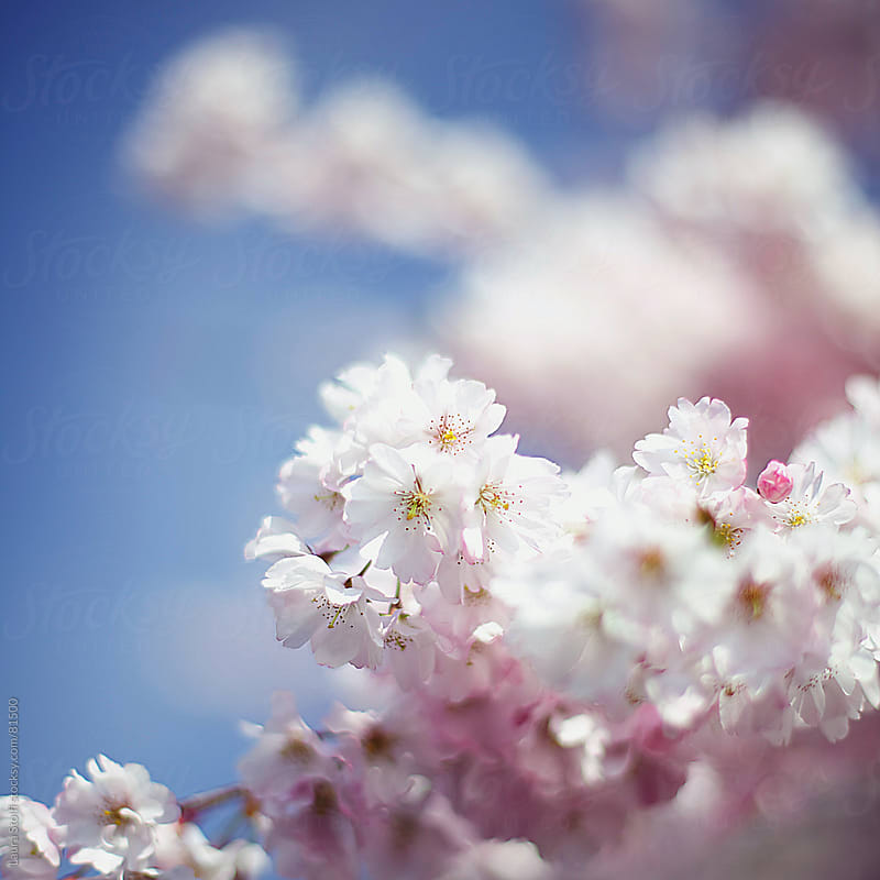 Pink cherry tree flowers and blue sky by Laura Stolfi for Stocksy United