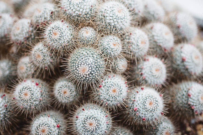 Close up Cactus by Danny Pellissier for Stocksy United