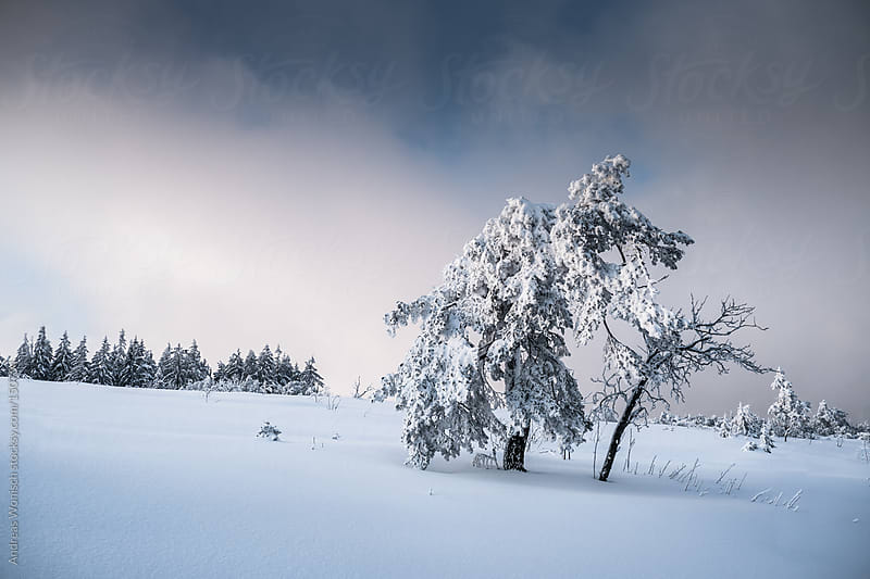 Tree covered with snow by Andreas Wonisch for Stocksy United