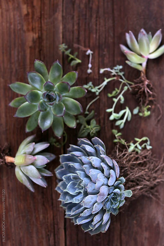 A Collection Of Succulent Plants Ready To Be Planted by ALICIA BOCK for Stocksy United
