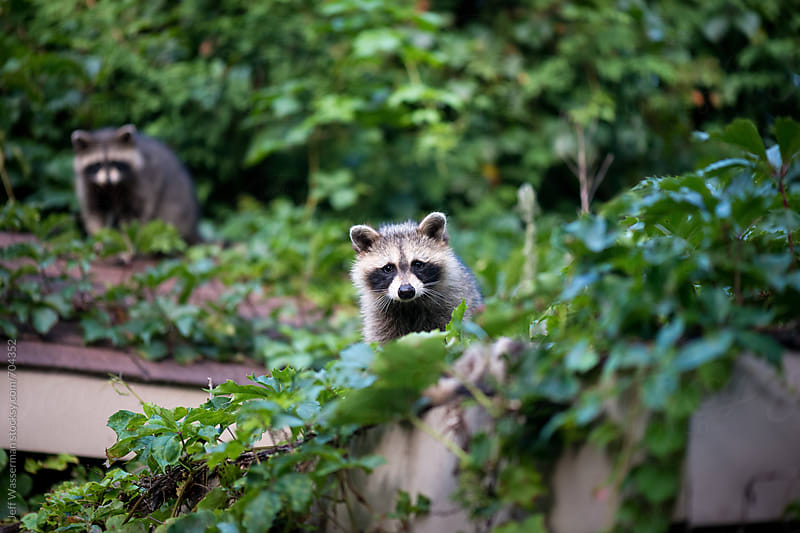 Raccoons  by Jeff Wasserman for Stocksy United