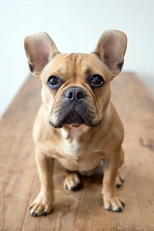 Bull Dog by Helene Cyr for Stocksy United