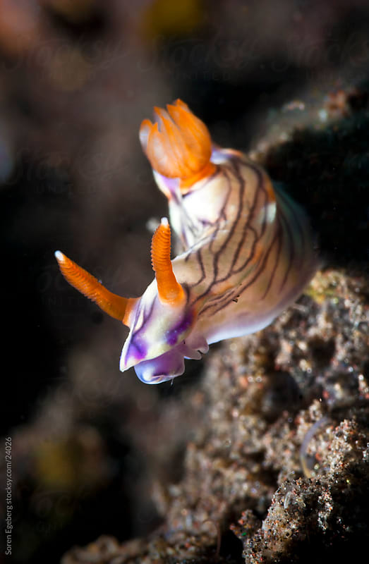 Nudibranch crawling on the coral reef  underwater in Indonesia by Søren Egeberg Photography for Stocksy United