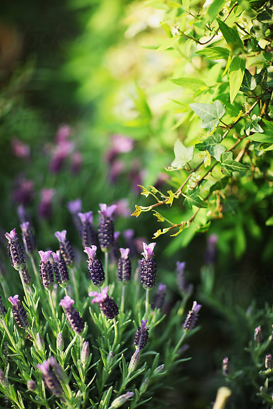 Lavender in a herb garden. by kkgas for Stocksy United