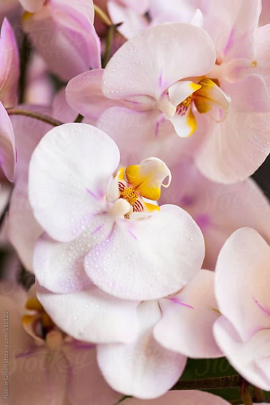 Phalaenopsis Moth Orchid Flowers by Nadine Greeff for Stocksy United