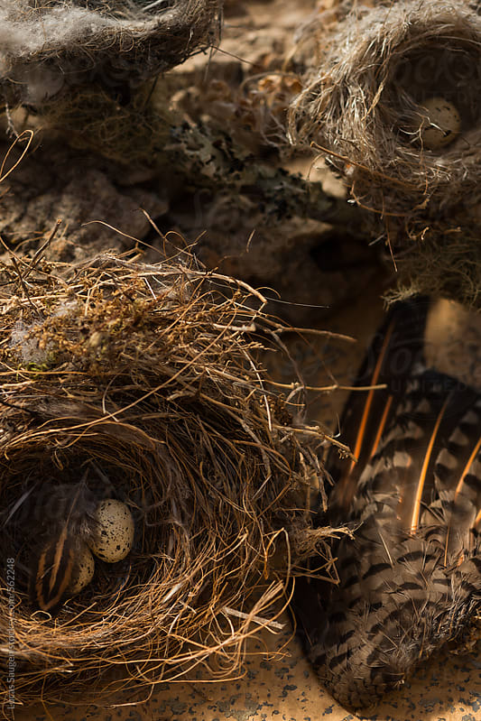 A couple of bird nests and eggs. by Lucas Saugen for Stocksy United