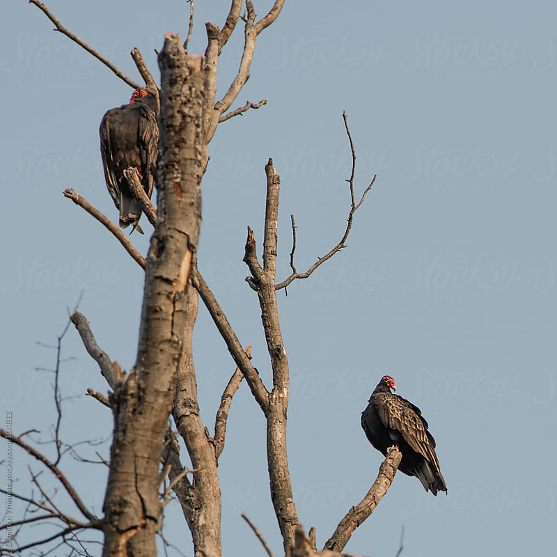 Turkey Vulture Perched On A Dead Tree by Cameron Whitman for Stocksy United