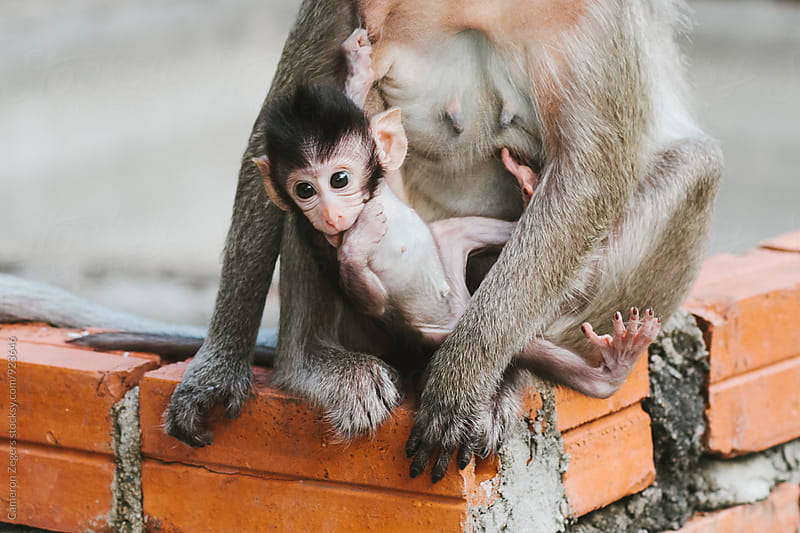 mother and baby monkey in Cambodia by Cameron Zegers for Stocksy United