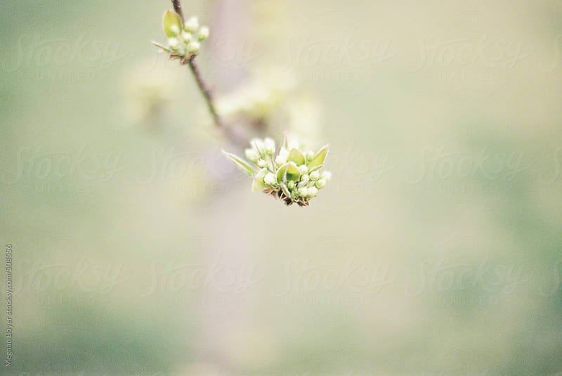 Pear tree bud in early spring by Meghan Boyer for Stocksy United