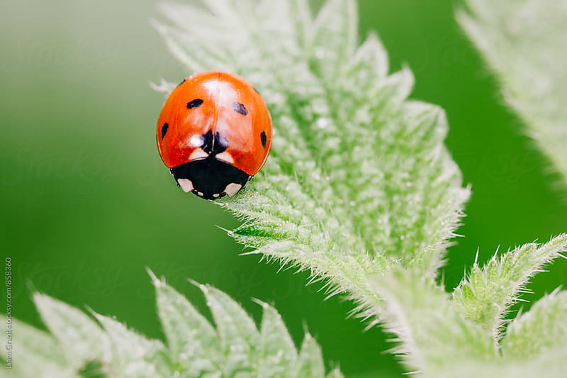 Ladybird on a nettle leaf. Norfolk, UK. by Liam Grant for Stocksy United