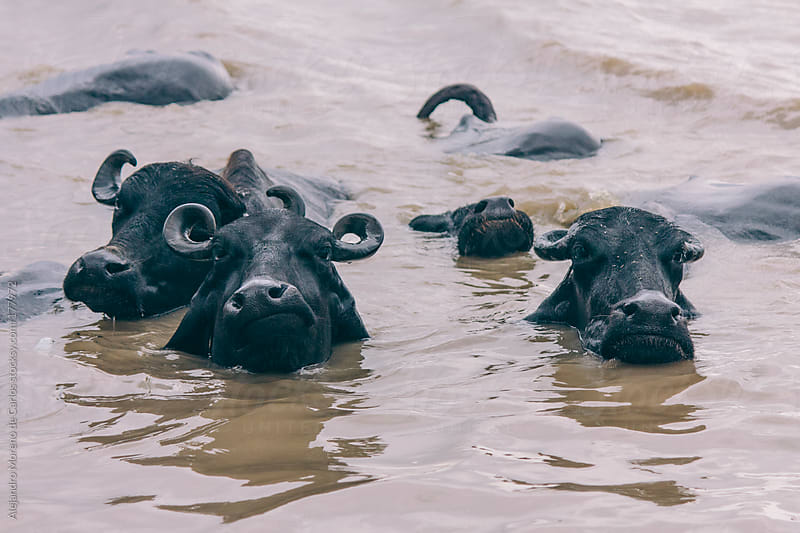 Water buffalos swimming in river by Alejandro Moreno de Carlos for Stocksy United