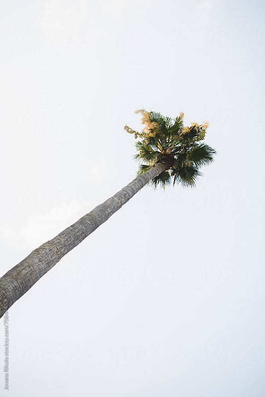 Alone palm tree by Jovana Rikalo for Stocksy United