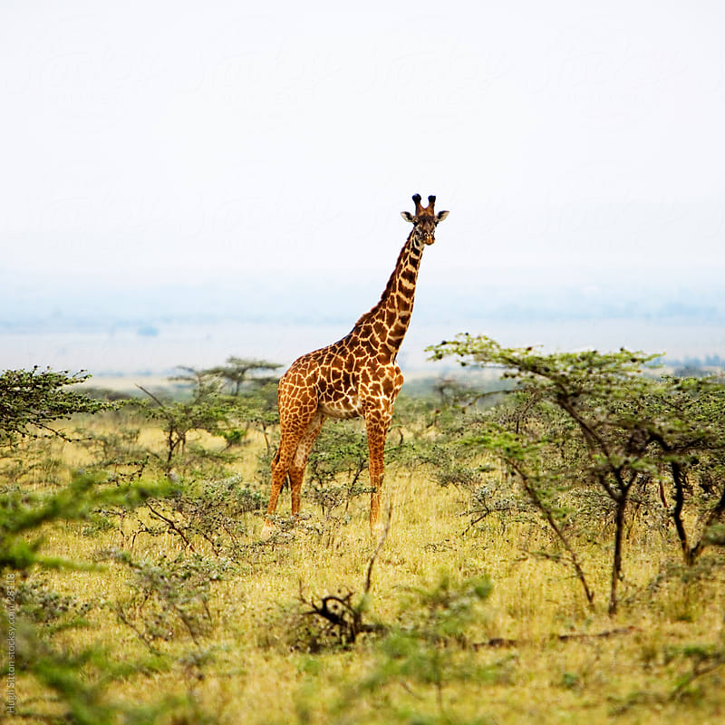 Giraffe in the Maasai Mara. by Hugh Sitton for Stocksy United