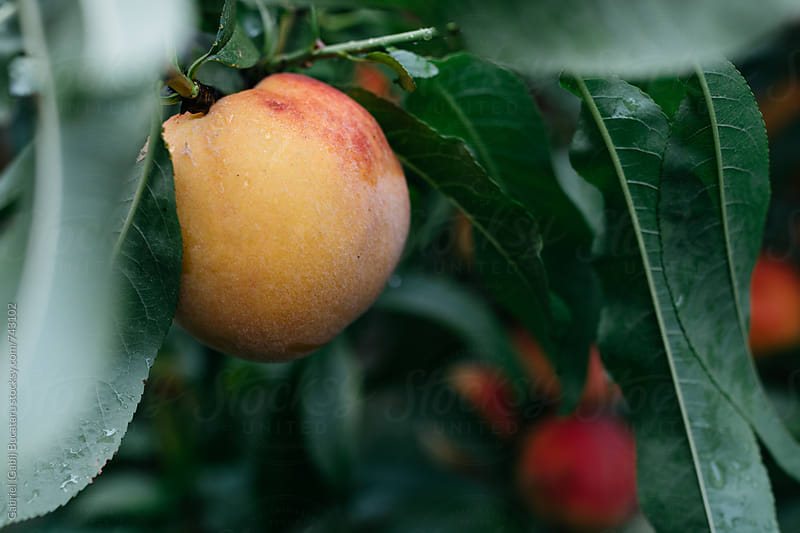 Peach on a tree by Gabriel (Gabi) Bucataru for Stocksy United