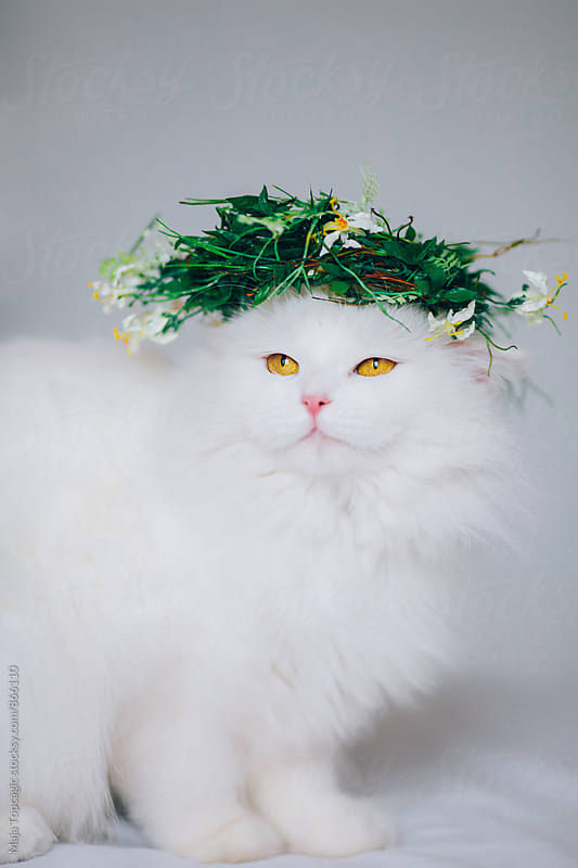 Little beautiful persian cat indoors by Maja Topcagic for Stocksy United