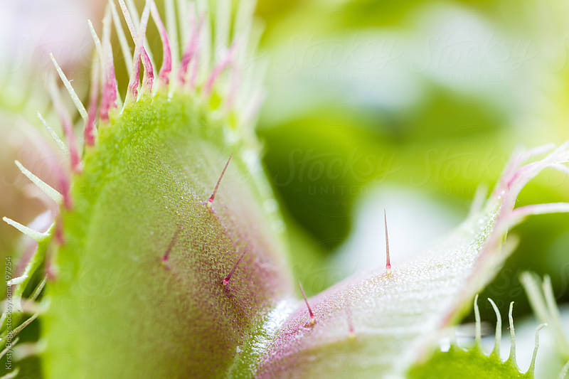 Venus Flytrap close up by Kirsty Begg for Stocksy United