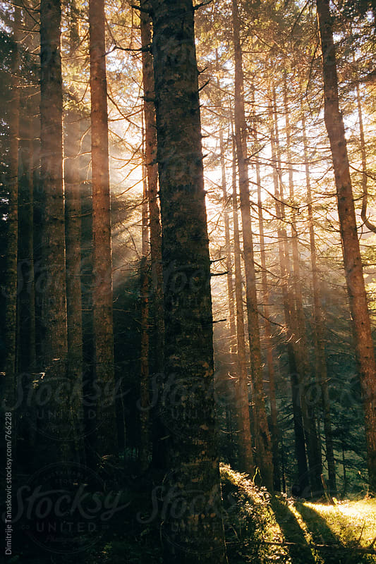 Early morning in the pine forest. Sun shining through the treetop  by Dimitrije Tanaskovic for Stocksy United