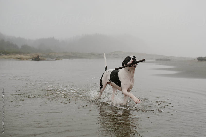 Dog Running in Ocean with Stick by Sidney Morgan for Stocksy United