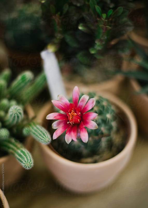 Cactus plant with pink flower in bloom in clay pot by Laura Stolfi for Stocksy United