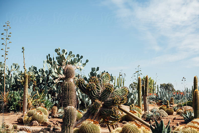 Large Cacti Garden by Kara Riley for Stocksy United
