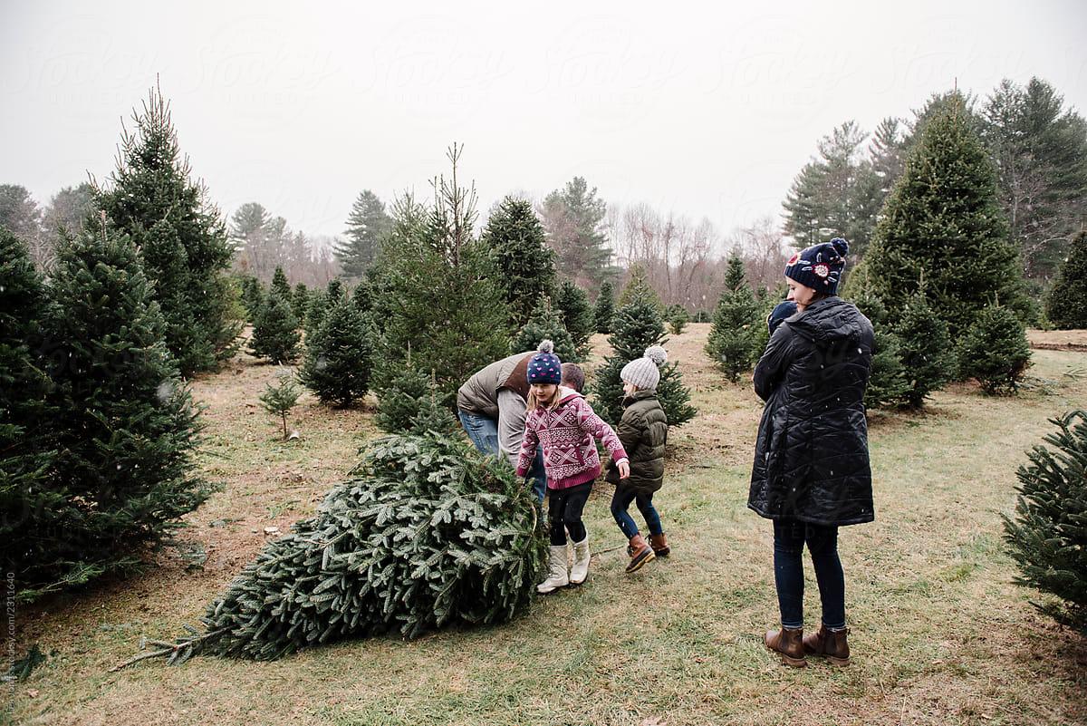 Family Walking In Christmas Tree Farm Dragging A Big Tree By Lea Jones Christmas Tradition Stocksy United
