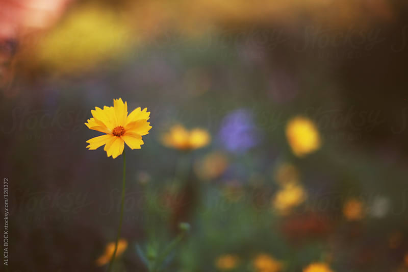 Yellow Cosmos Flower by ALICIA BOCK for Stocksy United