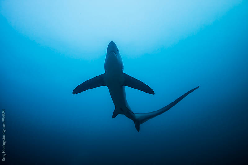 thresher shark by Song Heming for Stocksy United