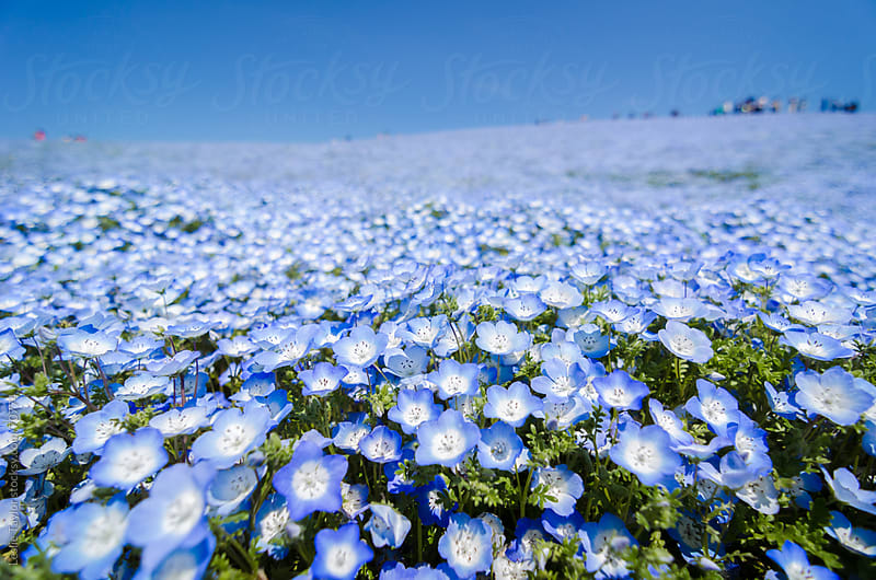Blue Flower Field by Leslie Taylor for Stocksy United