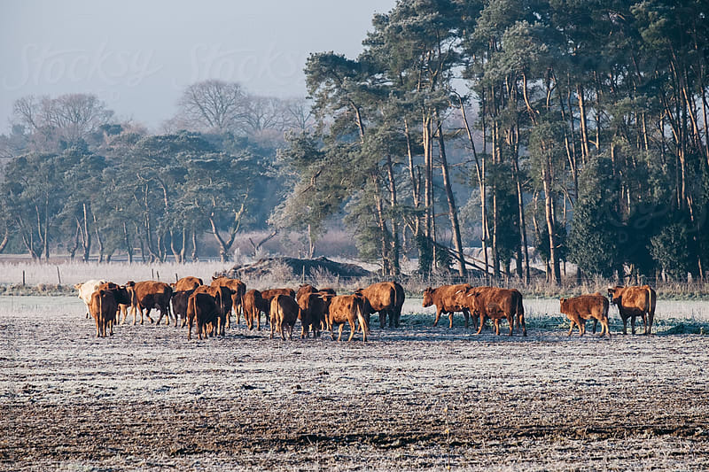 Cattle huddled together on a cold frosty morning.Norfolk, UK. by Liam Grant for Stocksy United