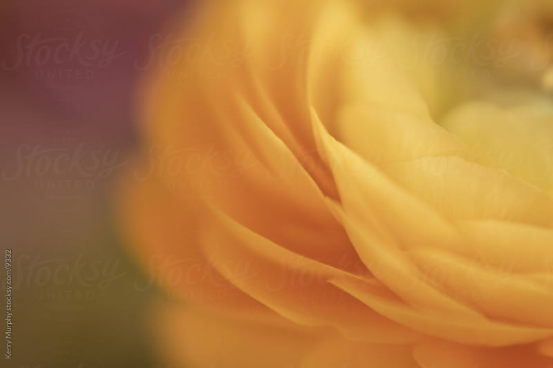 Macro of soft yellow ranunculus flower by Kerry Murphy for Stocksy United