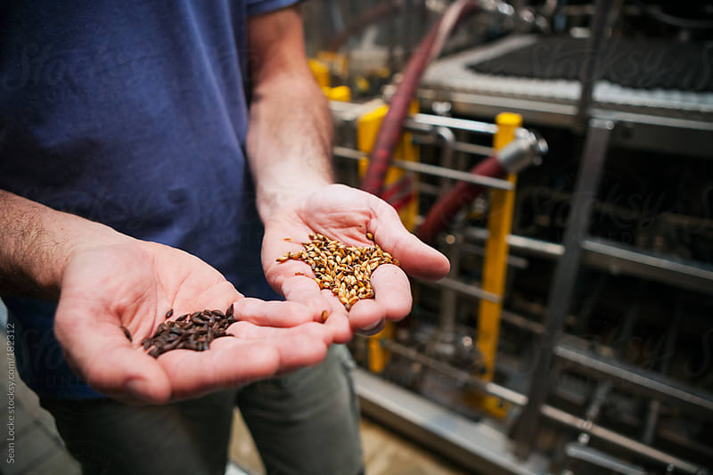 Beer: Holding Two Different Roasted Grains by Sean Locke for Stocksy United
