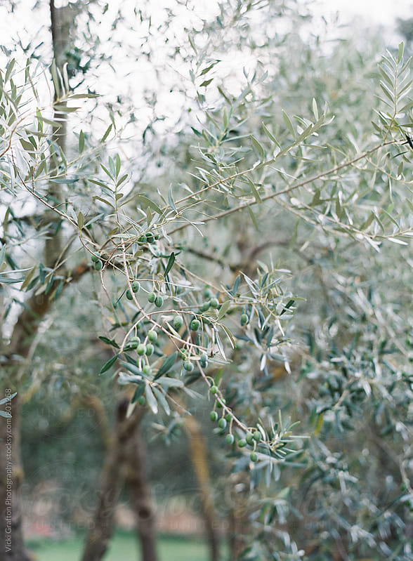 Olive farm in Tuscany  by Vicki Grafton Photography for Stocksy United