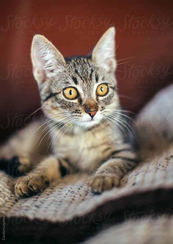 Tabby kitten with amber eyes and big ears by Carolyn Lagattuta for Stocksy United