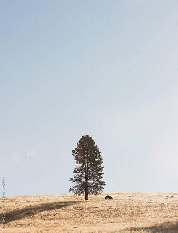Lone Tree On Golden Hill by Ronnie Comeau for Stocksy United