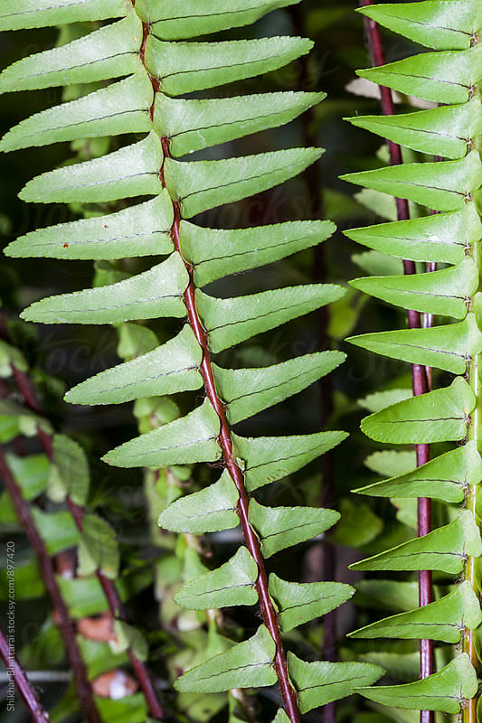 Close up of a fern. by Shikhar Bhattarai for Stocksy United