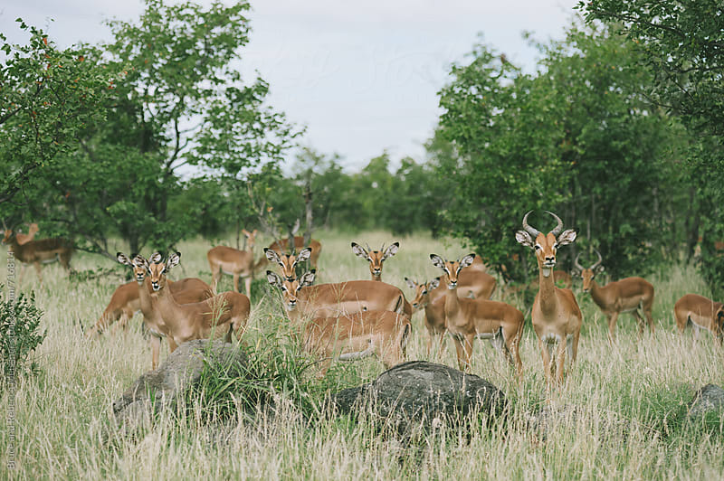 Impala Herd by Bruce and Rebecca Meissner for Stocksy United