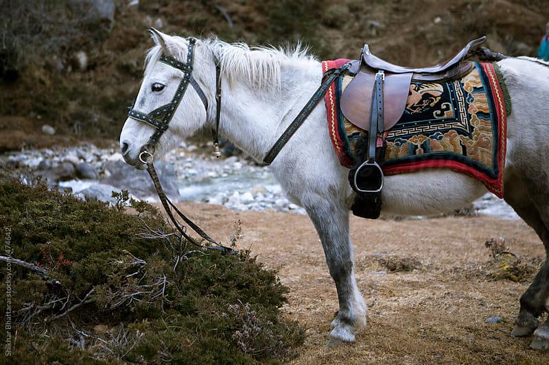 White horse tied to a leash.  by Shikhar Bhattarai for Stocksy United