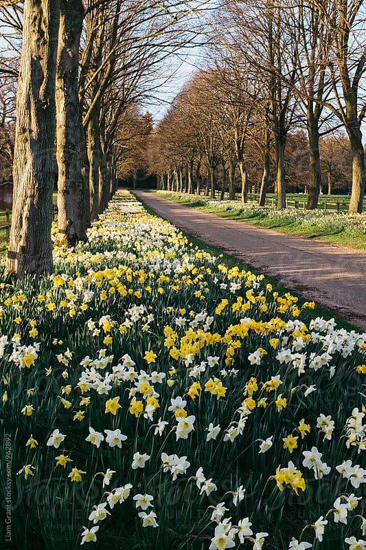 Daffodils growing beside a remote country road. Norfolk, UK. by Liam Grant for Stocksy United