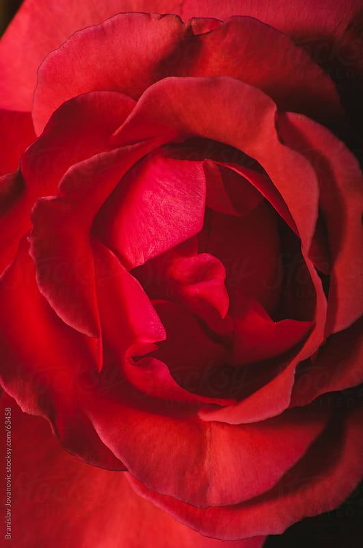 Macro shot of red rose by Brkati Krokodil for Stocksy United