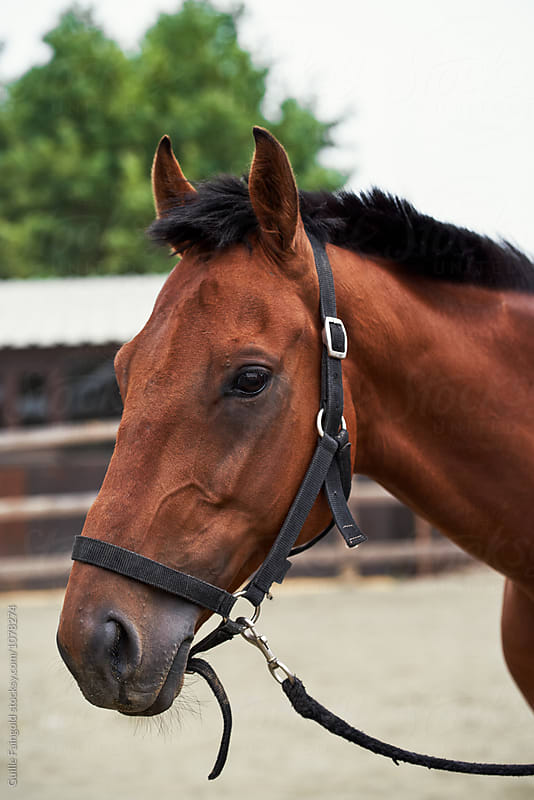Portrait of brown horse in stirrup by Guille Faingold for Stocksy United