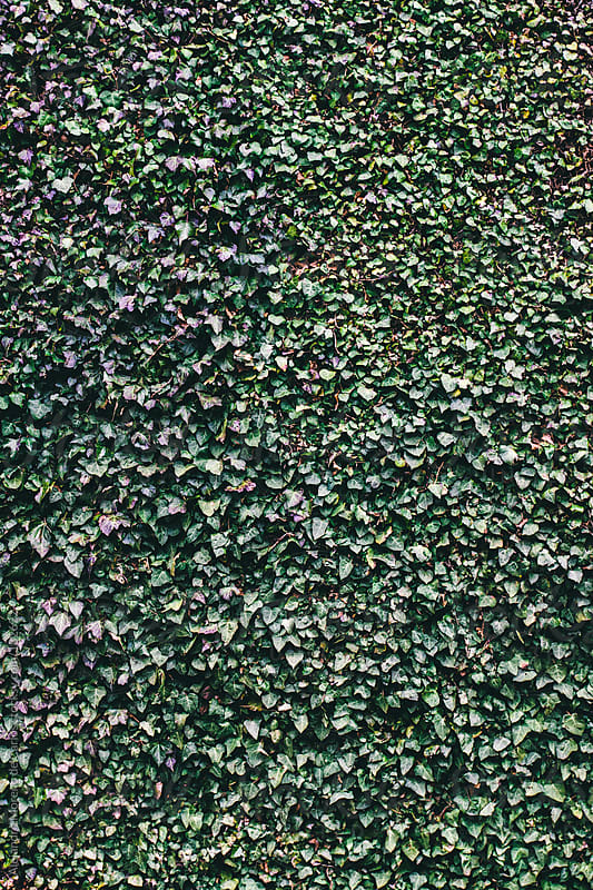 Ivy pattern background by Alejandro Moreno de Carlos for Stocksy United