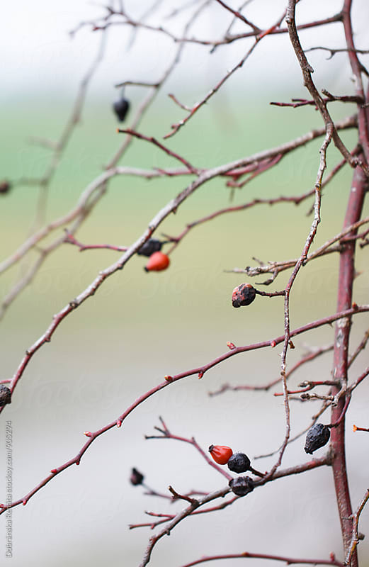 Wild Rose Hips On Branches by Dobránska Renáta for Stocksy United
