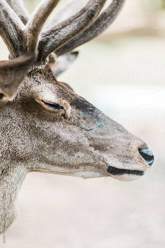 portrait of a deer by Javier Pardina for Stocksy United