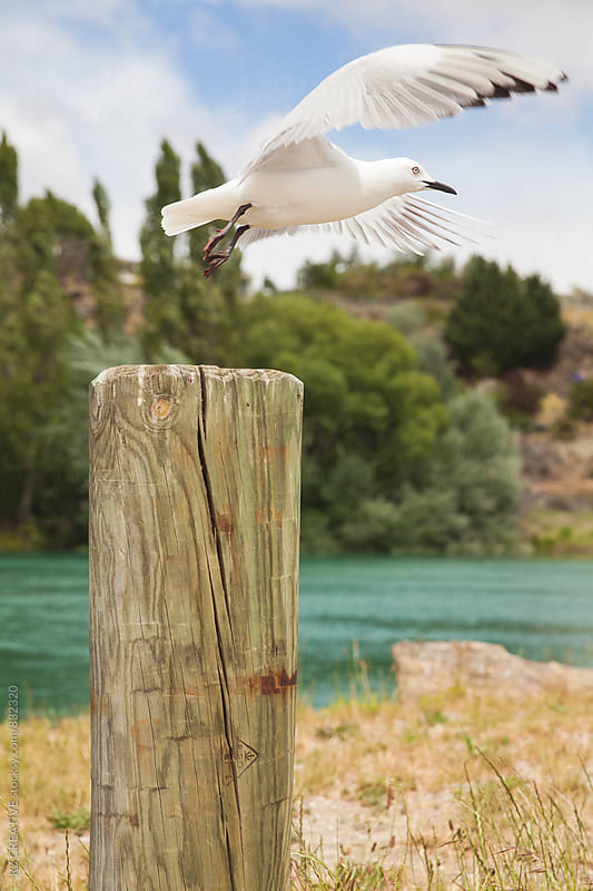 Sea gull taking flight. by Robert Zaleski for Stocksy United
