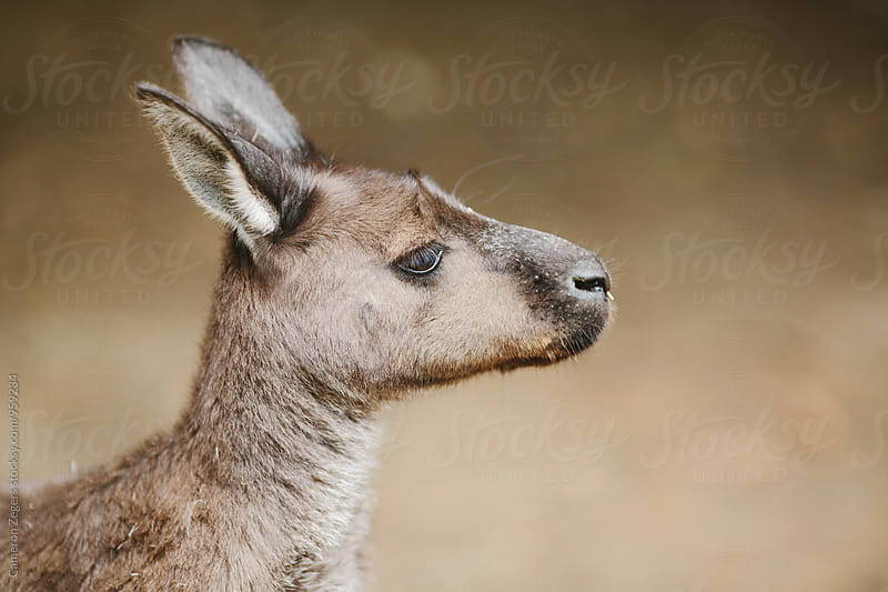 kangaroo portrait by Cameron Zegers for Stocksy United