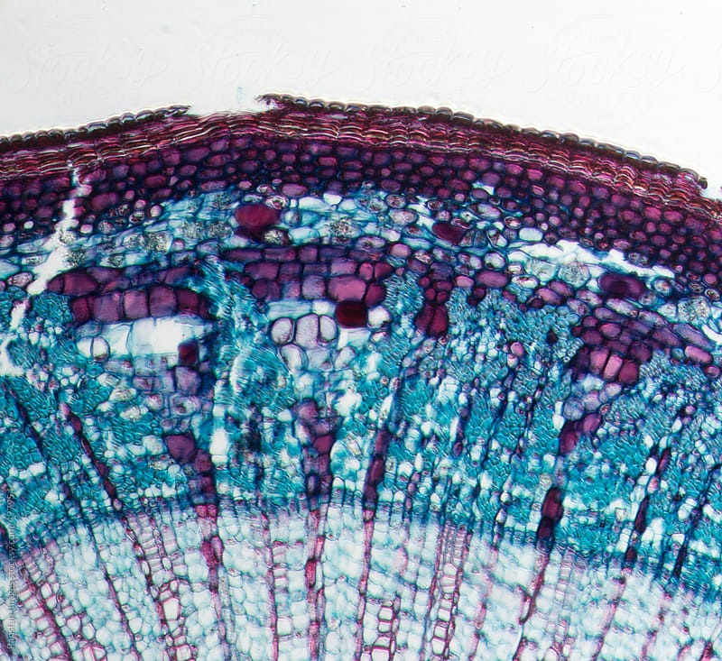 Tilia Stem cross section by Pansfun Images for Stocksy United