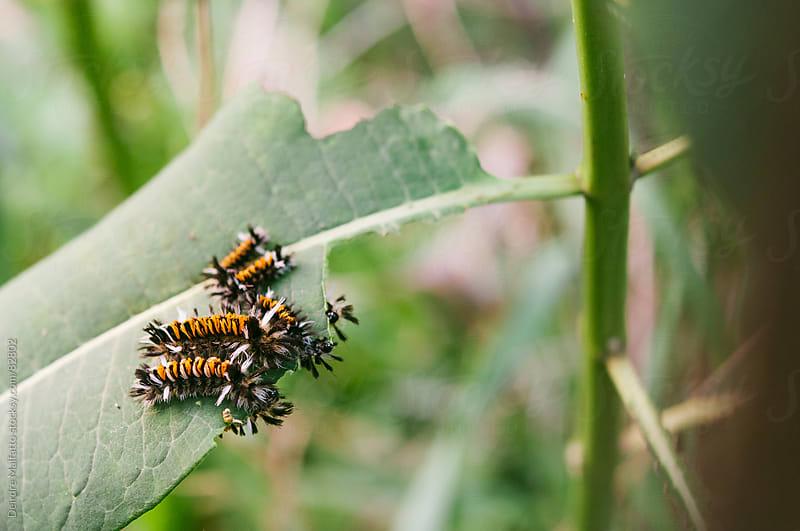 milkweed tussock caterpillars eating a milkweed leaf by Deirdre Malfatto for Stocksy United
