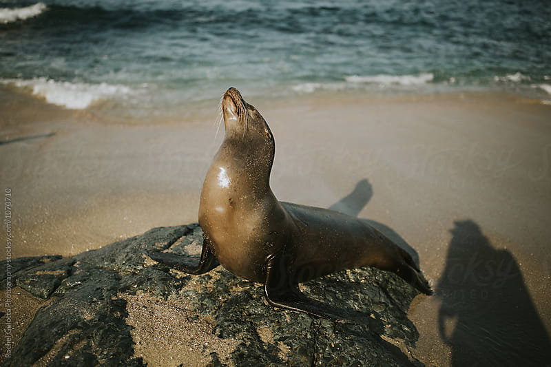 Sea Lion at the Sandy Beach on the Shore by Rachel Gulotta Photography for Stocksy United